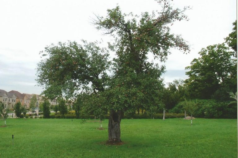 Apple tree in the apple orchard